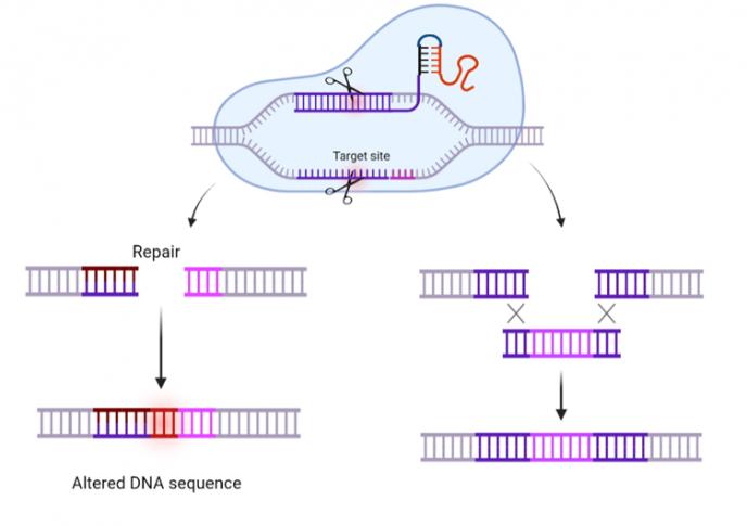 CRISPR Fig 2 Hvordan CRISPR Cas fungerer