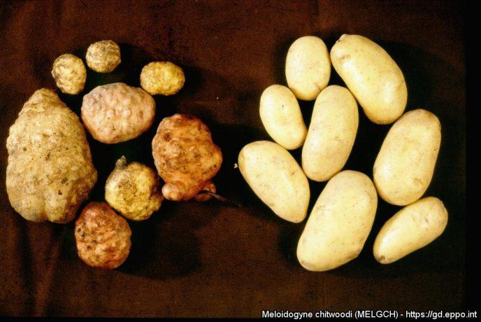 Meloidogyne chitwoodi 3194