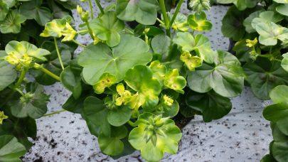 Skade av Movento pa Pelargonium LK 2016