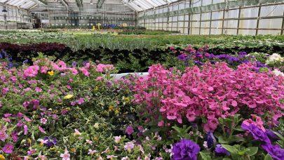 Utplantingsplanter ASE 2018