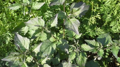 Ag gulrot sorter forsok svartsotvier52
