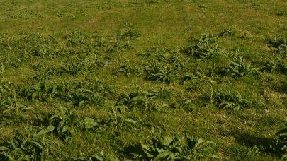 Hoymole fra gamle planter i ny eng Foto Ragnhild Renna